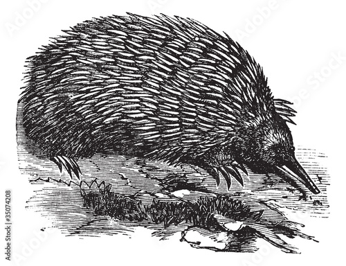 Echidna or Spiny Anteater or Zaglossus sp. or Tachyglossus sp.,