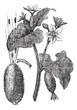 Squirting Cucumber or Exploding Cucumber or Ecballium elaterium,