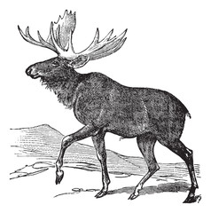 Moose or Eurasian Elk or Alces alces, vintage engraving