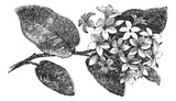 Mayflower or Trailing Arbutus or Epigaea repens, vintage engravi