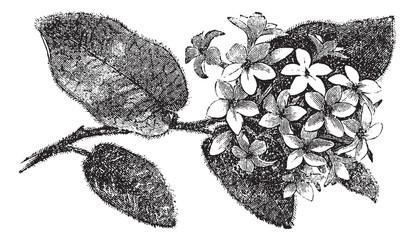 Mayflower or Trailing Arbutus or Epigaea repens, vintage engravi