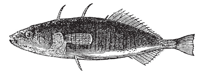 Three-spined Stickleback or Gasterosteus aculeatus, vintage engr