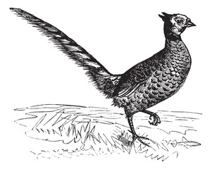 Common Pheasant or Phasianus colchicus, vintage engraving