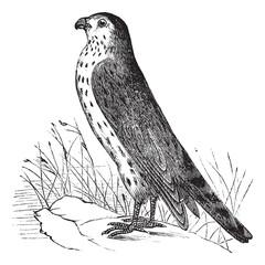 Merlin or Pigeon Hawk or Falco columbarius, vintage engraving