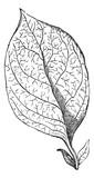 Reticulate-veined Leaf, vintage engraving poster