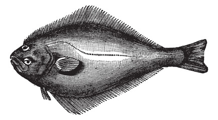 Atlantic Halibut or Hippoglossus hippoglossus, vintage engraving