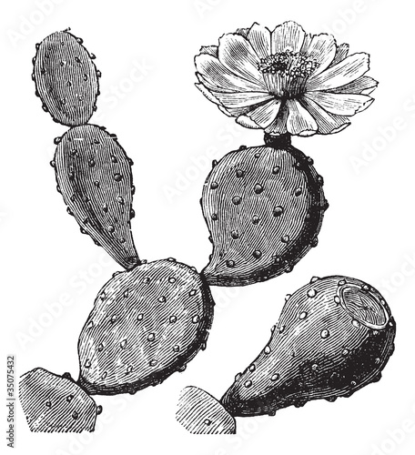 Barbary Fig or Indian Fig Opuntia or Prickly Pear or Opuntia fic