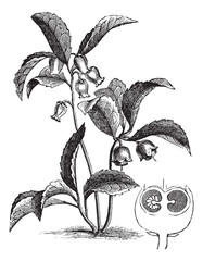 Gaultheria procumbens or Eastern teaberry vintage engraving