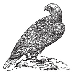 Gyrfalcon or Falco rusticolus in Norway vintage engraving