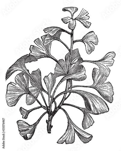 Ginkgo biloba or Salisburia adiantifolia vintage engraving © Morphart