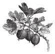 Gooseberry (Ribes grossularia) vintage engraving