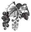 Red currant (Ribes rubrum) vintage engraving