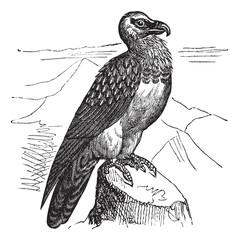 Bearded Vulture (Gypaetus barbatus) or Lammergeyer vintage engra