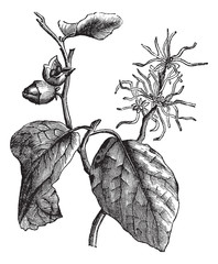 Witch hazel (Hamamelis virginiana) or winterbloom vintage engrav