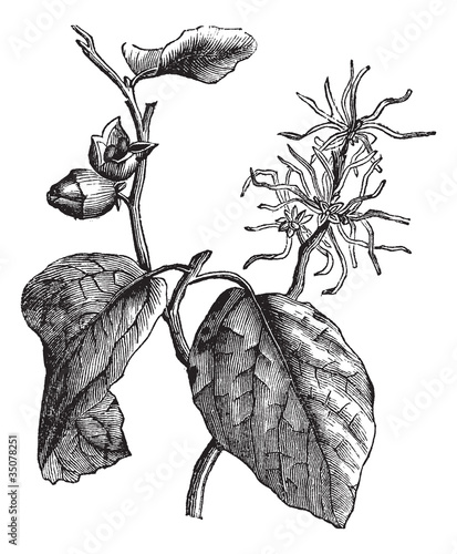 Witch hazel (Hamamelis virginiana) or winterbloom vintage engrav