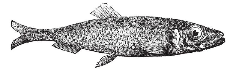 Atlantic herring of Europe (Clupea harengus) vintage engraving