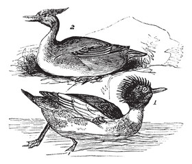Red-breasted Merganser (Mergus serrator) 1. male 2. female vinta