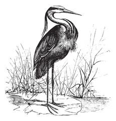 Common European heron (Ardea cinerea) or Grey heron vintage engr