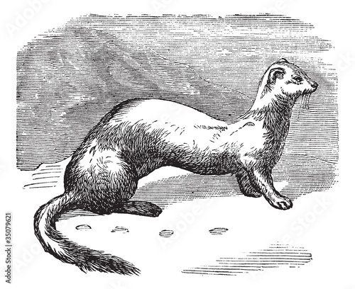 Stoat (Mustela erminea) or Ermine in winter pelt vintage engravi