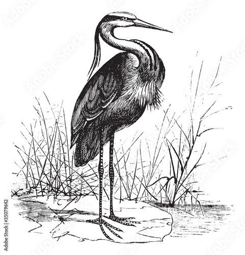 Common European heron (Ardea cinerea) or Grey heron vintage engr