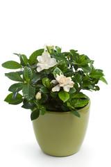 Gardenia (Gardenia jasminoides)