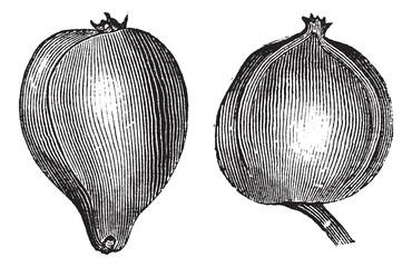 1- Pignut hickory 2. Bitternut hickory vintage engraving