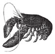 Common lobster or Homarus gammarus vintage engraving