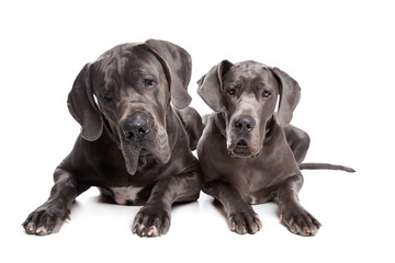 Two grey great Dane dogs