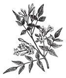 Common Jasmine or Jasminum officinale vintage engraving