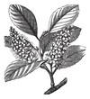 cherry laurel (Prunus laurocerasus) or Cherry laurel vintage eng