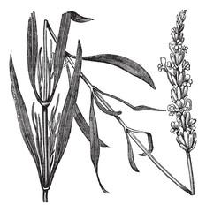 Common Lavender or Lavandula angustifolia, vintage engraving