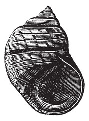 Littorina compressa or Littorina rudis vintage engraving