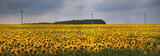 field of sunflowers. agricultural landscape