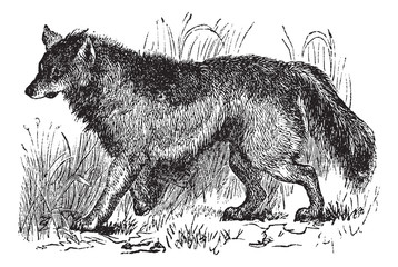 Coyote or Canis latrans vintage engraving