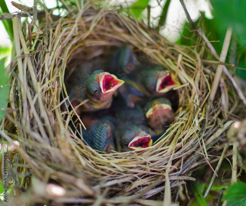 Newborn hungry baby birds in nest