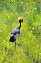 Crowned African Crane