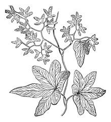 Climbing fern or Lygodium palmatum vintage engraving