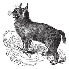 Canada Lynx or Lynx canadensis vintage engraving