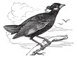 Common Hill Myna or Gracula religiosa vintage engraving