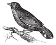 Guianan Red-Cotinga or Phoenicircus carnifex vintage engraving