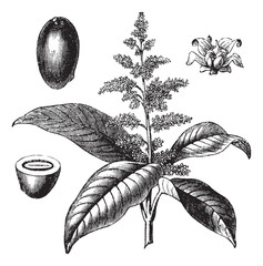 Indian mango or Mangifera indica vintage engraving