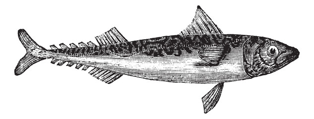 Atlantic mackerel or Scomber scombrus vintage engraving