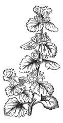 Common Horehound or Marrubium vulgare vintage engraving