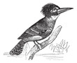 Belted Kingfisher or Megaceryle alcyon vintage engraving