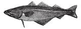 Common whiting (merlangus purpureus), vintage engraving