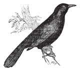 Common blackbird (Turdus merula) or Eurasian Blackbird perched o