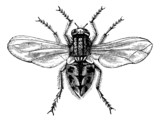Housefly (Musca domestica) or Common housefly, magnified, vintag