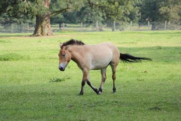 Freies Przewalski-Pferd