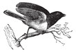 Dark-eyed Junco or Junco hyemalis, vintage engraved illustration