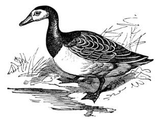 Barnacle goose (Branta leucopsis), vintage engraving.